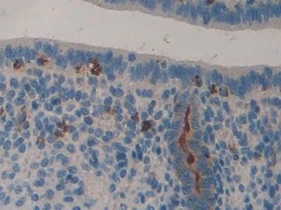 Immunohistochemistry (Formalin/PFA-fixed paraffin-embedded sections) - Anti-LCN8 antibody (ab233510)