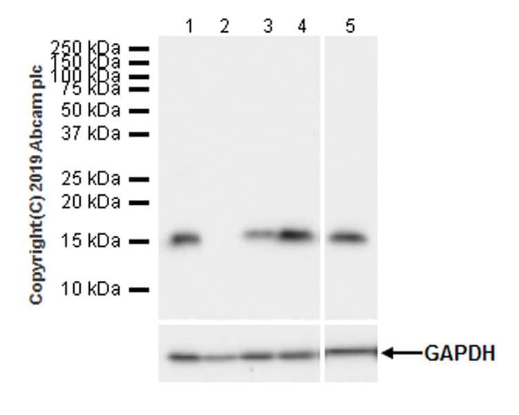 Western blot - Anti-IFITM1 antibody [EPR22620-12] (ab233545)