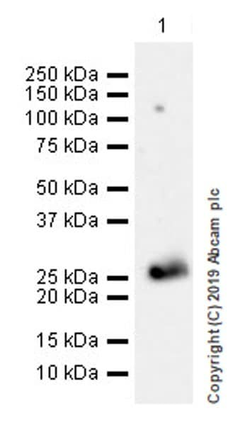 Western blot - Anti-Myelin oligodendrocyte glycoprotein antibody [EPR22629-310] (ab233549)