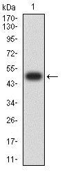 Western blot - Anti-ASF1b antibody [6G7G4] (ab233559)