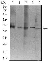 Western blot - Anti-ATG3 antibody [7A1D1] (ab233560)
