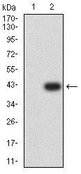 Western blot - Anti-ATG3 antibody [2C10A12] (ab233562)