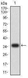 Western blot - Anti-IGLC2 antibody [5E12B9] (ab233563)