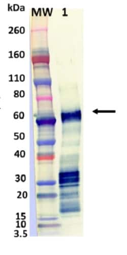 Western blot - Recombinant Influenza A Hemagglutinin protein (Active) (ab233591)