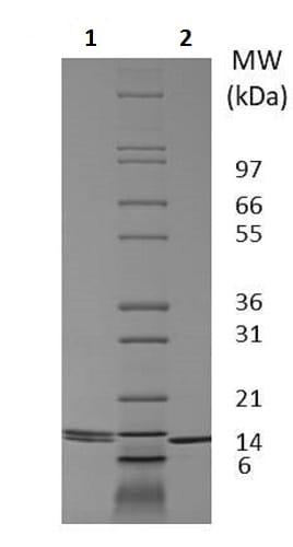 SDS-PAGE - Recombinant dog IL-2 protein (Active) (ab233593)