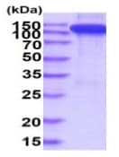 SDS-PAGE - Recombinant Human TIE2 protein (Fc Chimera His Tag) (ab233596)