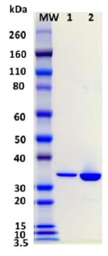 SDS-PAGE - Recombinant staphylococcus aureus hlgC protein (Active) (ab233606)