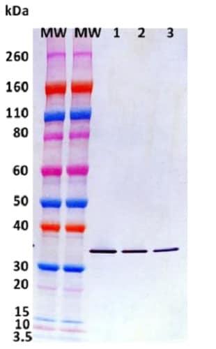Western blot - Recombinant staphylococcus aureus hlgC protein (Active) (ab233606)