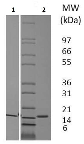 SDS-PAGE - Recombinant pig Flt3 ligand/Flt3L protein (Active) (ab233607)