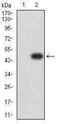Western blot - Anti-BCL2L10 antibody [8A2F9] (ab233641)