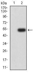 Western blot - Anti-Metabotropic Glutamate Receptor 3/MGLUR3 antibody [6H10C3] (ab233659)
