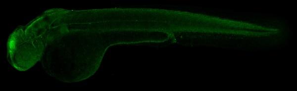 IHC - Wholemount - Anti-alpha Tubulin antibody (ab233661)