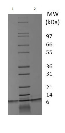 SDS-PAGE - Recombinant human TGF alpha protein (ab233681)