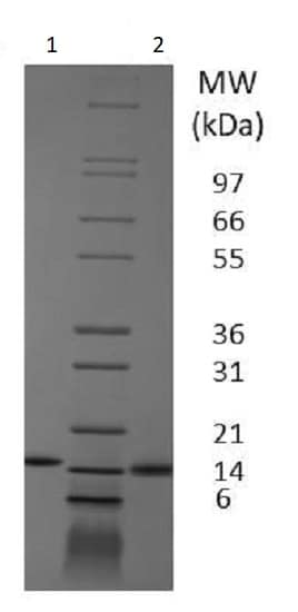 SDS-PAGE - Recombinant pig GM-CSF protein (Active) (ab233683)
