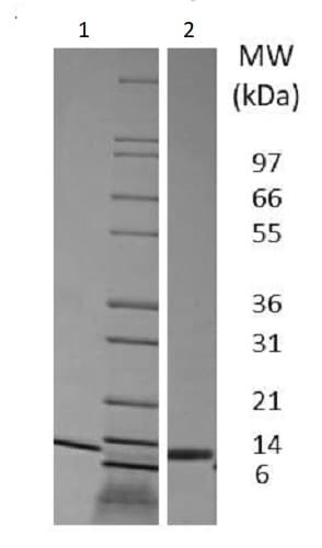 SDS-PAGE - Recombinant pig IL-4 protein (Active) (ab233686)