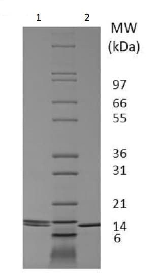 SDS-PAGE - Recombinant dog IL-2 protein (Active) (ab233688)