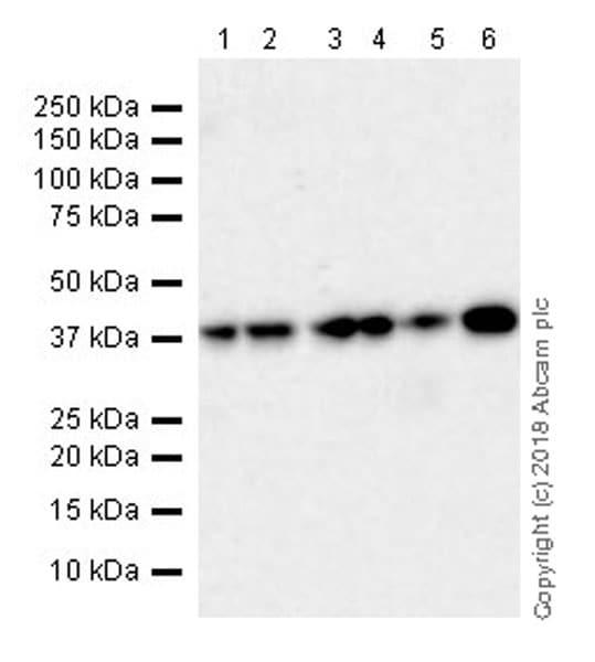 Western blot - Anti-DPS1 antibody [EPR20843] - BSA and Azide free (ab233697)