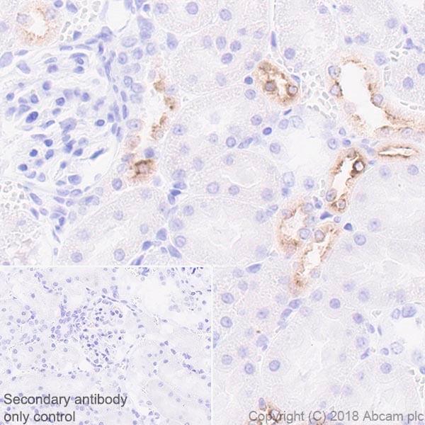 Immunohistochemistry (Formalin/PFA-fixed paraffin-embedded sections) - Anti-EGF antibody [EPR21926] - BSA and Azide free (ab233699)