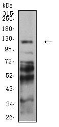 Western blot - Anti-PCDH9 antibody [7G3A2] (ab233710)
