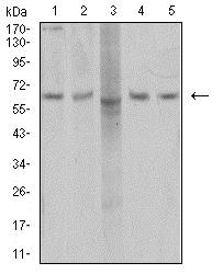 Western blot - Anti-AP2M1 antibody [4F1B2] (ab233712)