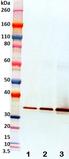 Western blot - Recombinant Staphylococcus alpha Hemolysin protein (Active) (ab233724)