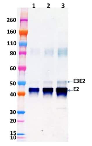 Western blot - Recombinant Western Equine Encephalitis Virus E3E2 protein (His tag) (ab233725)