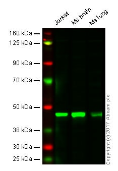 Western blot - Anti-MEK2 antibody [Y78] - BSA and Azide free (ab233731)