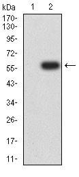 Western blot - Anti-Dynamin 2 antibody [3F5C7] (ab233732)