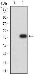 Western blot - Anti-CD272/BTLA antibody [7B8B4] (ab233733)