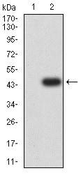 Western blot - Anti-GRIK3/GluK3 antibody [2B3D1] (ab233734)