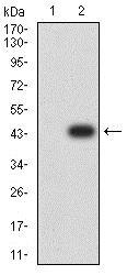 Western blot - Anti-Beta TRCP/HOS antibody [3D5E6] (ab233739)