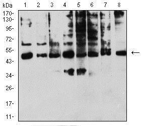 Western blot - Anti-KIR3DL1 antibody [6D9F6] (ab233740)