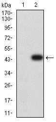 Western blot - Anti-DC-SIGN antibody [5C2G9] (ab233749)