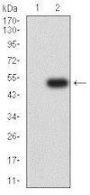 Western blot - Anti-CD166 antibody [3D9F1] (ab233750)