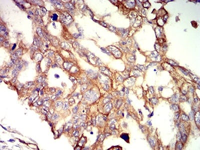 Immunohistochemistry (Formalin/PFA-fixed paraffin-embedded sections) - Anti-APC2 antibody [3A2G2] (ab233753)