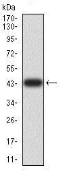 Western blot - Anti-AKT1 antibody [1F7E10] (ab233755)