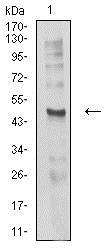 Western blot - Anti-CHRND antibody [1H1F9] (ab233758)