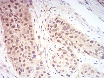 Immunohistochemistry (Formalin/PFA-fixed paraffin-embedded sections) - Anti-Ran antibody [8D1H12] (ab233762)