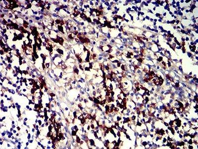 Immunohistochemistry (Formalin/PFA-fixed paraffin-embedded sections) - Anti-SLAMF7/CS1 antibody [5G5A4] (ab233779)