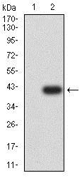 Western blot - Anti-APAF1 antibody [2H9A1] (ab233786)