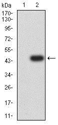 Western blot - Anti-MGLUR8 antibody [4C1C1] (ab233791)