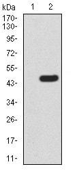 Western blot - Anti-hHR23A antibody [1E4D6] (ab233795)