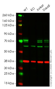 Western blot - Anti-ATG16L1 antibody [5H9A11] (ab233796)