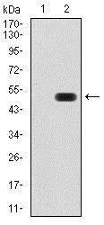 Western blot - Anti-ATF3 antibody [5A9B9] (ab233797)
