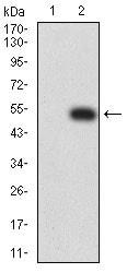 Western blot - Anti-PTPRD antibody [5H5D7] (ab233806)