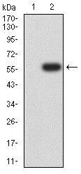 Western blot - Anti-NCR1 antibody [2B11E12] (ab233808)