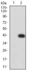 Western blot - Anti-CD272/BTLA antibody [4B12A7] (ab233809)