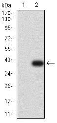 Western blot - Anti-Plexin A1 antibody [7B8H9] (ab233826)
