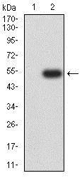 Western blot - Anti-ICAM2 antibody [6B9G10] (ab233828)