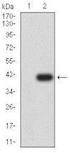 Western blot - Anti-CCR1 antibody [8E10G6] (ab233832)
